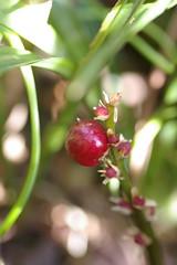 吉祥草の果実