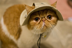 Mooman and his hat (quasarkitten) Tags: pet cat feline felisdomesticus exoticshorthair mooman