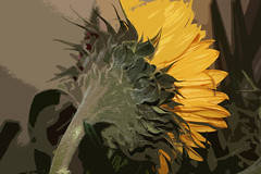 SUNFLOWER (Fran James) Tags: 6263