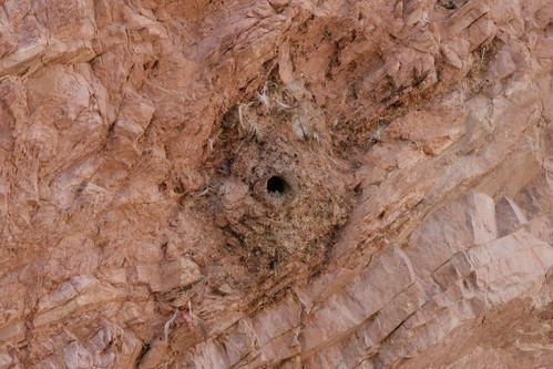 Sitta tephronata (Eastern Rock Nuthatch) - Nest by Arthur Chapman.