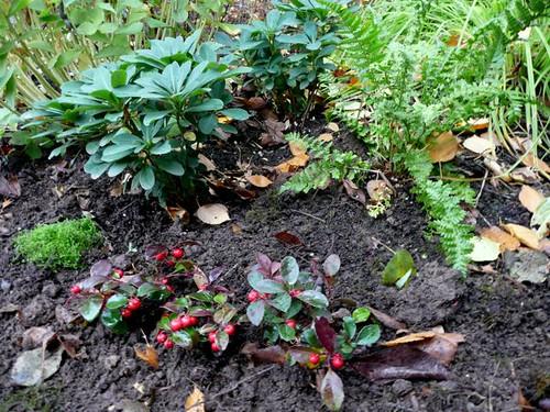 Corsican sandwort and wintergreen