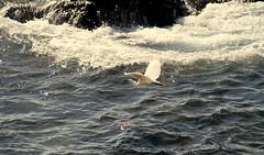 L'Airone pescava (LIGSGE) Tags: mare drop onde alghero gocce naturesfinest airone lipu golddragon abigfave anawesomeshot digitalphotoart goldstaraward ligsge