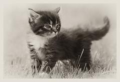 Kitten (©Andrey) Tags: pets home animal cat garden kitten little pentax outdoor small k10d pentaxk10d justpentax da200 smcpda200mmf28edifsdm ilobsterit