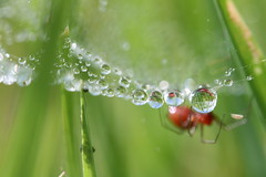(Caitlyn Park) Tags: morning macro water grass spider droplets bokeh web arachnid spiderweb foggy ground cobweb dew tiny refraction interestingness45 i500 hbw redspider