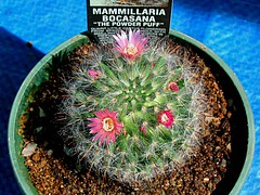 Mammillaria bocasana close up (maroochymax) Tags: