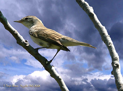 Beccafico (Sylvia Borin) (sergio.lanna) Tags: bird sergio birds animal animals wings wing natura ali uccelli ficus ala sylvia animali penne lanna uccello fico piuma atricapilla fichi sylviaatricapilla piume capinera capinere thewonderfulworldofbirds