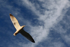 """Where Ya Goin'?"" - Olivia Waite (Nathan Csonka Photography) Tags: blue sky detail bird clouds contrast photoshop canon rebel wings focus seagull highlights cs3 xti"