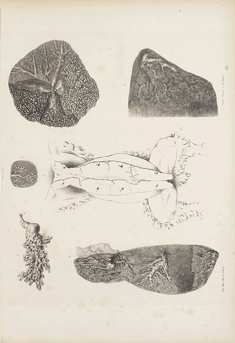 Of the Mammary Gland in the Rabbit (Cooper, 1840)
