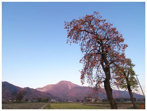 Persimmon tree 081202 #01