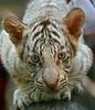 Baby White Tiger (Chi Liu) Tags: nature animal canon tiger whitetiger supershot chiliu mywinners babywhitetiger vosplusbellesphotos