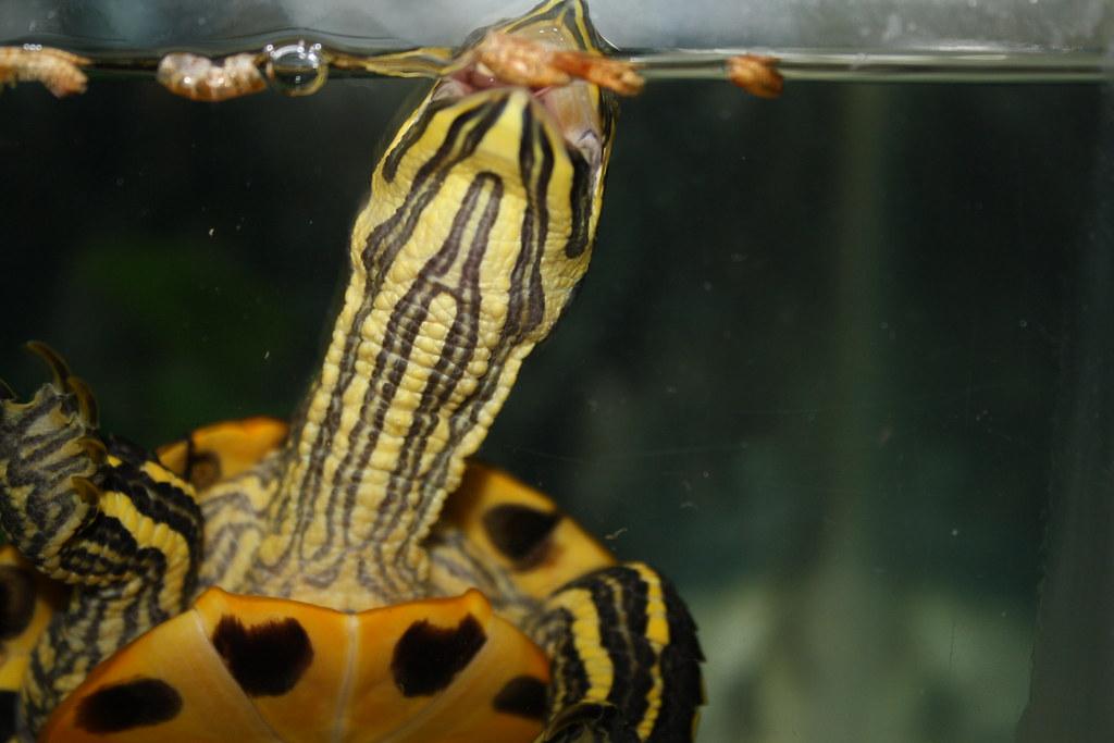 Resultado de imagen de tortuga gambas