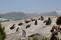 Boulders Beach Penguins (Sarasavoy) Tags: mountain elephant beach table point southafrica hope bay penguins landscapes boat town good wildlife lion photojournalism safari capes rhino zebra cape whales kalk springbok baboons townships osterich aquilla