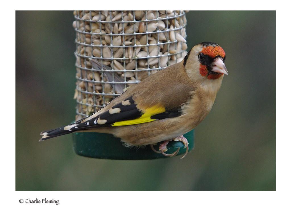 Goldfinch Sat