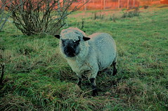 Winterdressed sheep (OrangUtanSam) Tags: sunset sky cloud sun clouds denmark dragør skies copenhagenairport øresund dragoer redskies oeresund