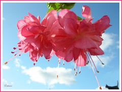 Marcus Graham & Sky (EdwinaFran) Tags: pink summer sky flower fuchsia thegalaxy masterphotos abigfave theunforgettablepictures 100commentgroup theperfectpinkdiamond edwinafran