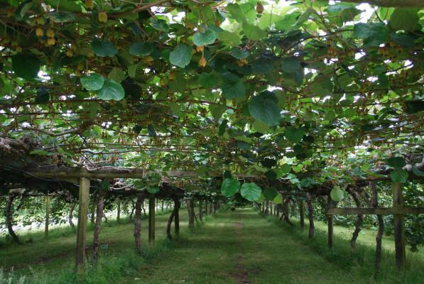 kiwi_orchard_1