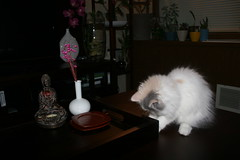 persian cat kitten