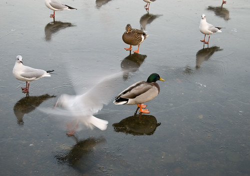 Birds Standing on Frozen Pond, Hampstead Heath