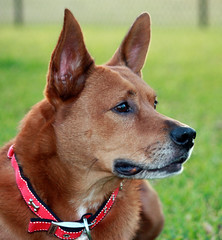 54/365 (white.wave) Tags: red portrait dog yard backyard florida loki browndog february southflorida project365 february2009