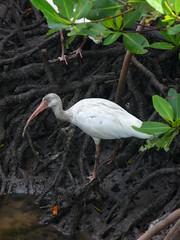 Ibis feast - La fiesta del ibis (Soyunangel) Tags: wild animal animals florida crab dirty holes ibis hollywood animales cuevas cangrejos sucio