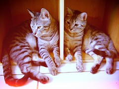 Pawpaw & Kaka (Chrischang) Tags: pet animal cat kaka pawpaw toycameraanalogcolor