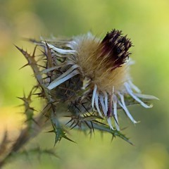 Carline commune (Carlina vulgaris) Carline Thistle (Sinkha63) Tags: france flower macro nature fleur prairie wildflower asteraceae pelouse limousin naturesfinest carlinethistle pgt carlinavulgaris anawesomeshot astraces platinumheartaward composes puydarnac naturethroughthelens carlinecommune chardondor naturimages cratitudesnolimits