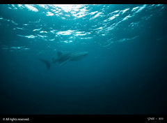 Whale Shark (Seeneen.Photography) Tags: ocean blue water coral photography nikon underwater diving whaleshark reef maldives lankan maldivesphotos mohamedseeneen maldivesunderwaterphotography imagesformaldives
