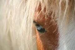 The Horse's Eye (i need my blankie) Tags: blue horse eye face hair dof steinhardtgardens diamondsawards agcgwinner thepinnaclehof storybookwinner mygearandme storybookttwwinner tppets53111 tphofweek100