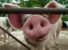 Give us a kiss !!  {Explored} (Cosper Wosper) Tags: piggies porker cute giveusakiss cerdo morro
