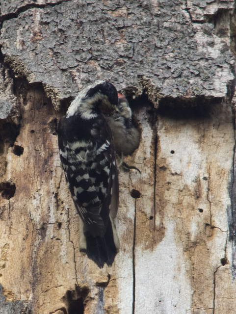 lesser spotted woodpecker chick being fed by female
