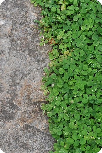Clover close-up