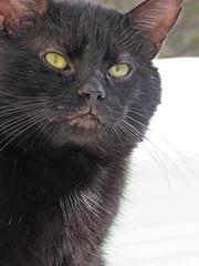 Diego in the Snow (A Great Capture) Tags: pet snow black cat blackcat eyes kitten kat chat ashley ad kitty diego ears whiskers gato meow katze curious gatto kittycat familypet ald flickrcat canadianphotographer a torontophotographer ash2276 ash2275 ashleyduffus fcats canadianphotogpraher ashleysphotography ald ashleysphotographycom ashleysphotoscom ashleylduffus wwwashleysphotoscom