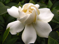 Gardenia jasminoides Ellis.--01 (jennyhsu47) Tags: naturesfinest supershot platinumphoto anawesomeshot aplusphoto diamondclassphotographer excellentphotographerawards ilovemypic macroawardgroup defendersmacroandcloseupgroup goldsealofquality zenenlightenment everydayissunday theperfectphotographer heunforgettablepictures goldstaraward overtheexcellencegroup yourpreferredpicture betterthangoodmedicinalaromaticandwildorrareedibleplants