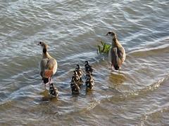 Looking to the left (x3 Nostalgie x3) Tags: water river geese wasser goose egyptian gosling fluss gänse gänseküken nilgans