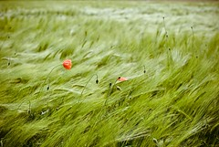 HBW! (besimo) Tags: red green field landscape flora nikon wind wheat feld spot poppy lightroom mohn weizen 35mmf20 hbw nikond80 projekt365 besimmazhiqi notreallybokehbut