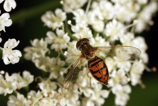 Hoverfly (Toxomerus marginatus)