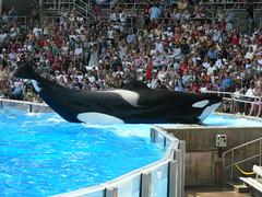 Tilikum (AquaOrca) Tags: world sea orlando florida believe killer whale orca seaworld shamu