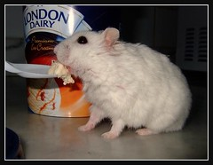 Yum Yum .... (  Ailurophile ) Tags: old winter pet white cute animal hamster