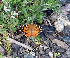 Butterfly_essex70508