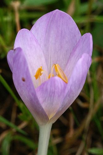Colchicum autumnale by imanh.
