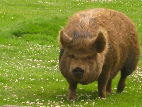 Q&A Hog