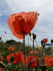 Coquelicot (kiwipilu) Tags: sky flower nature fleur rouge ciel coquelicot akai