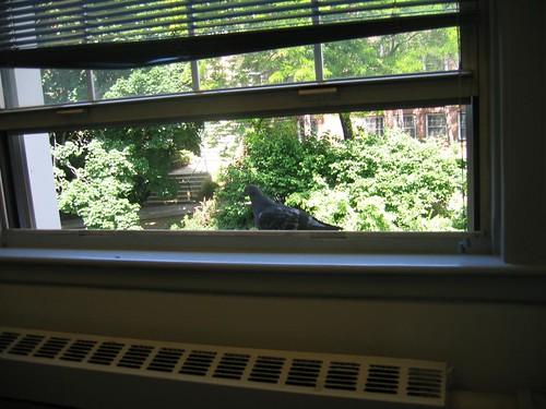 Window sill pigeon