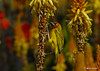 Cape Weaver on Aloe vanbalenii flowers (Martin_Heigan) Tags: camera winter light flower color colour macro bird nature digital southafrica succulent aloe nikon warm afternoon dof martin bokeh son photograph cape d200 weaver dslr kleur capensis ploceus suidafrika nikonstunninggallery heigan 70300mmf4556gvr sonskyn aalwyn vetplante wsnbg mhsetbirds mhsetaloes mhsetbokeh mhsetflowers 26july2008 aalwyne vanbalenii