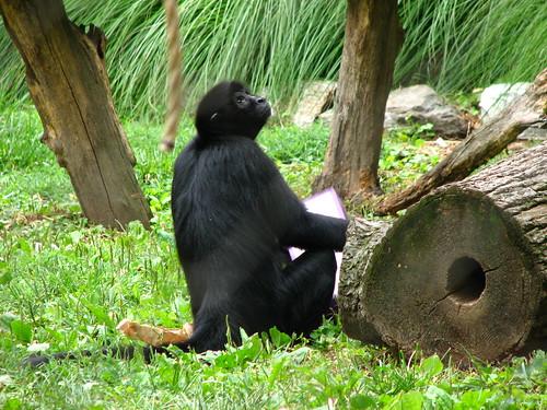 free downloading pics of black monkey wiki