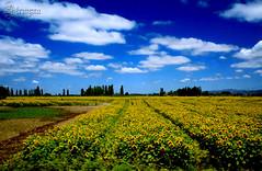"Estilo ""Bajo el sol de Toscana"" (TRUZYNA PHOTOGRAPHY) Tags: chile flowers blue sky sun flores sol field azul clouds de landscape scenery nuvole country bajo under feld himmel wolken blumen el cu cielo nubes nuvens campo fields blau toscana blume bulutlar vii skyer tuscan maravillas regin moln girasoles   mraky  oblaci  sptima  ret   bewlkter parajeschilenos"