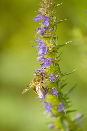 Beestje (zweefvlieg?) op hyssop