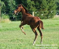 Fun and games (Elusive Elegance) Tags: baby animals play rear humor joyful joyous foal