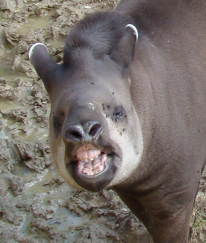 Brazilian Tapir (Tapirus Terrestris), Amazona Zoo, Cromer