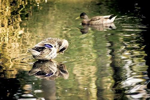 Mallard ducks in water in Stayton Oregon